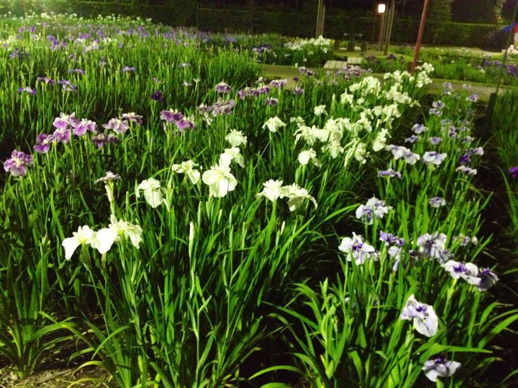 豊橋賀茂のしょうぶ園