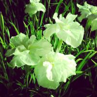 豊橋賀茂のしょうぶ園3