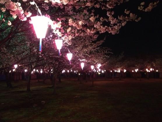 向山緑地桜